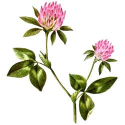 Клевер — растение, картинка цветная