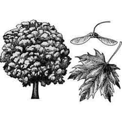 Клён — растение, картинка чёрно-белая