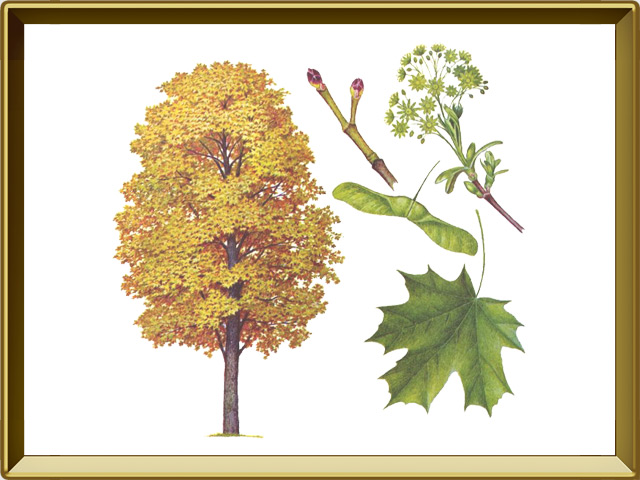Клён — растение, фото в рамке №1
