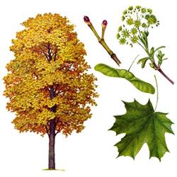 Клён — растение, картинка цветная