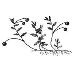 Клюква — растение, картинка чёрно-белая