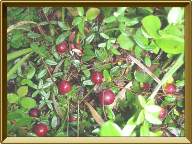Клюква — растение, фото в рамке №2