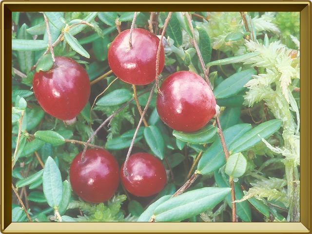 Клюква — растение, фото в рамке №3