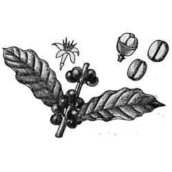 Кофе — растение, картинка чёрно-белая