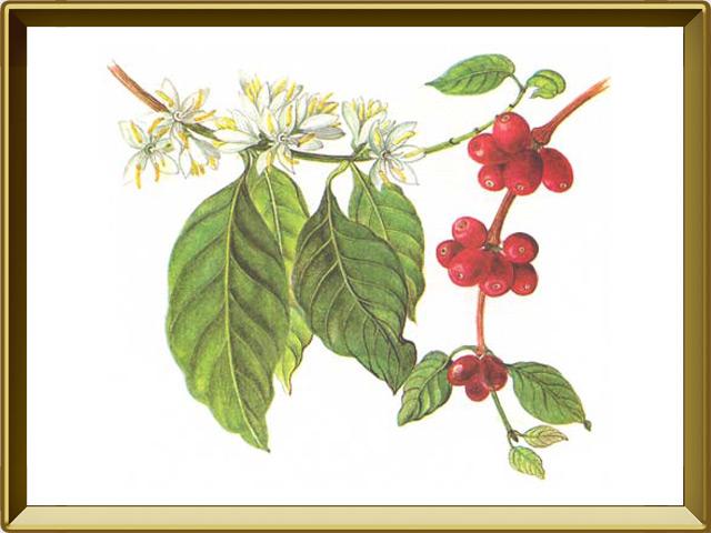 Кофе — растение, фото в рамке №1