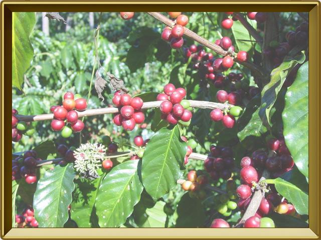 Кофе — растение, фото в рамке №3