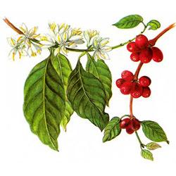 Кофе — растение, картинка цветная