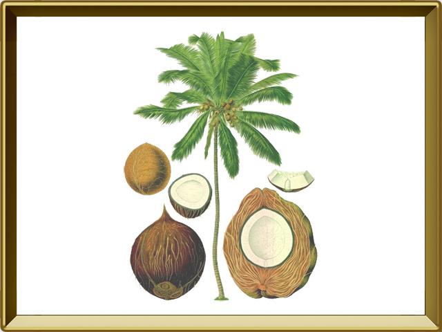 Кокосовая пальма — растение, фото в рамке №1