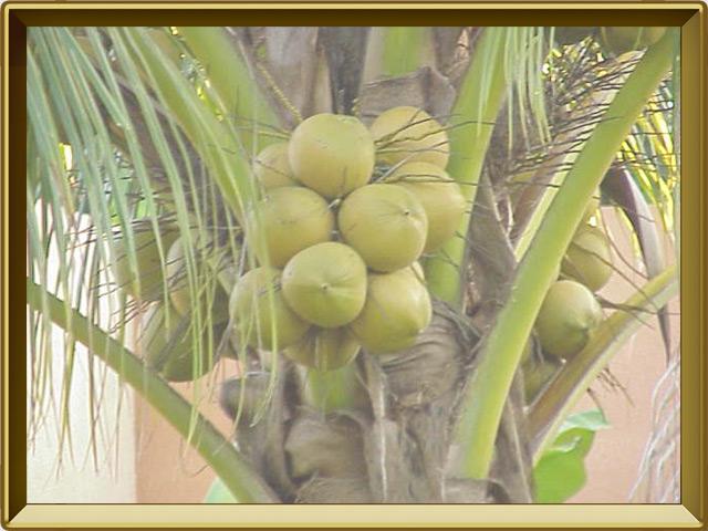 Кокосовая пальма — растение, фото в рамке №3