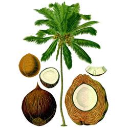 Кокосовая пальма — растение, картинка цветная