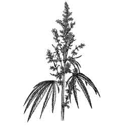 Конопля — растение, картинка чёрно-белая