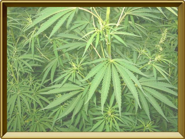 Конопля — растение, фото в рамке №2