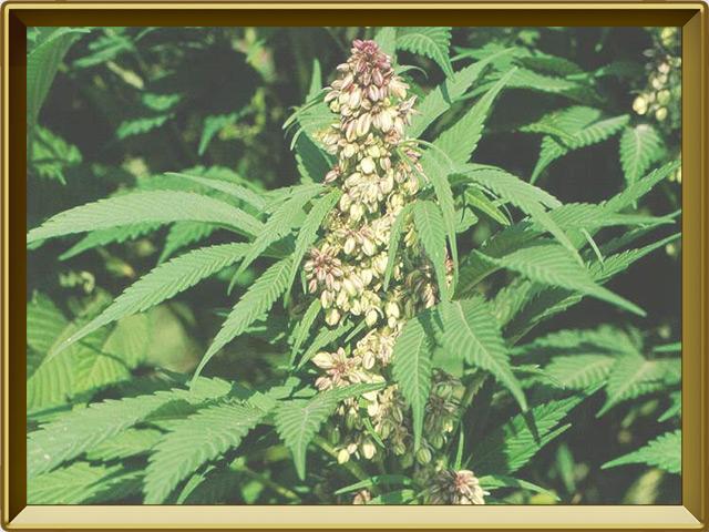 Конопля — растение, фото в рамке №3
