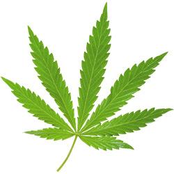 Конопля — растение, картинка цветная