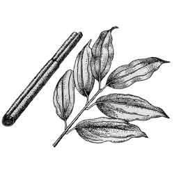Корица — растение, картинка чёрно-белая
