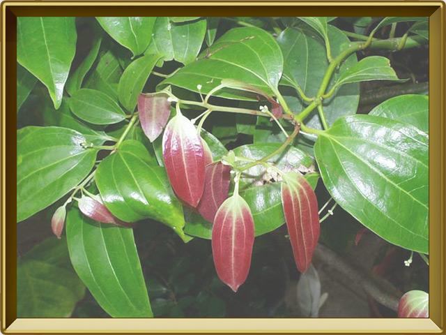 Корица — растение, фото в рамке №2