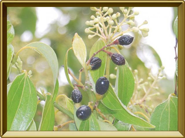 Корица — растение, фото в рамке №3
