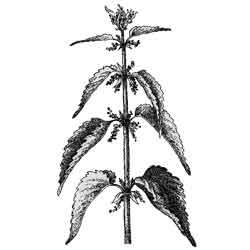 Крапива — растение, картинка чёрно-белая