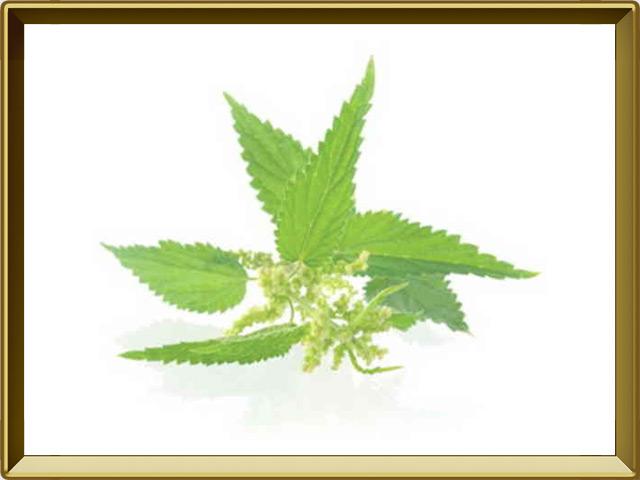 Крапива — растение, фото в рамке №1
