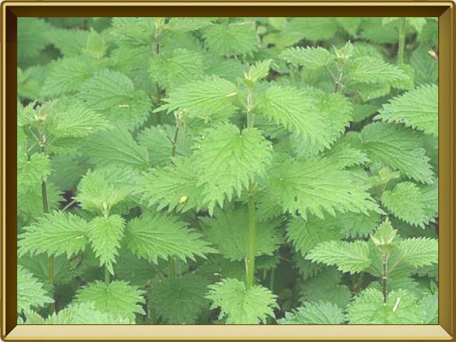 Крапива — растение, фото в рамке №2