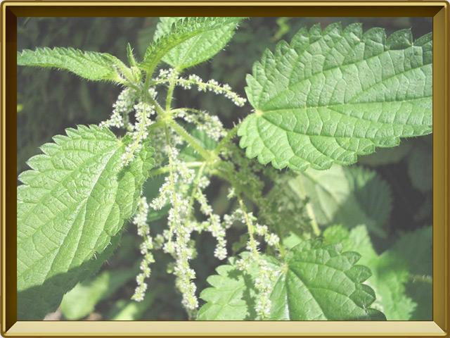 Крапива — растение, фото в рамке №3