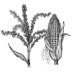 Кукуруза — растение, картинка чёрно-белая