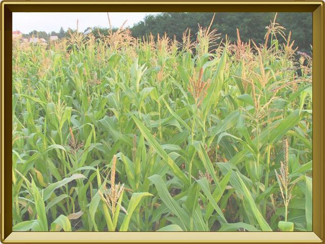 Кукуруза — растение, фото в рамке №2