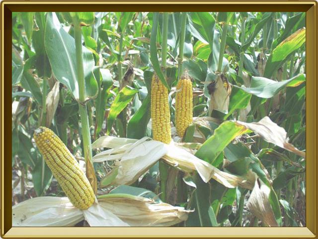 Кукуруза — растение, фото в рамке №3