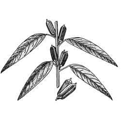Кунжут — растение, картинка чёрно-белая