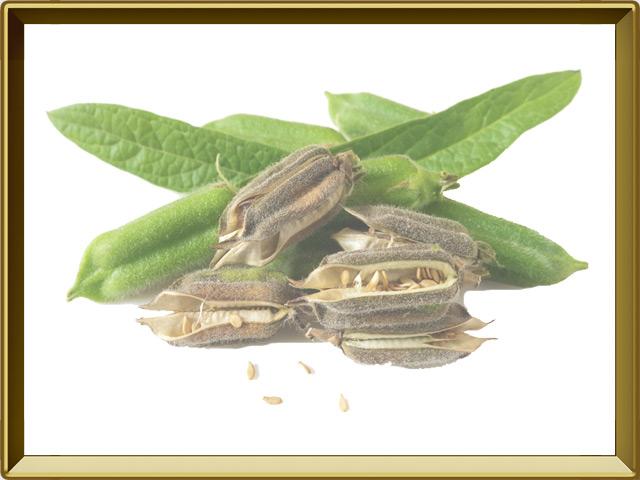Кунжут — растение, фото в рамке №1