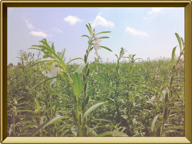 Кунжут — растение, фото в рамке №2