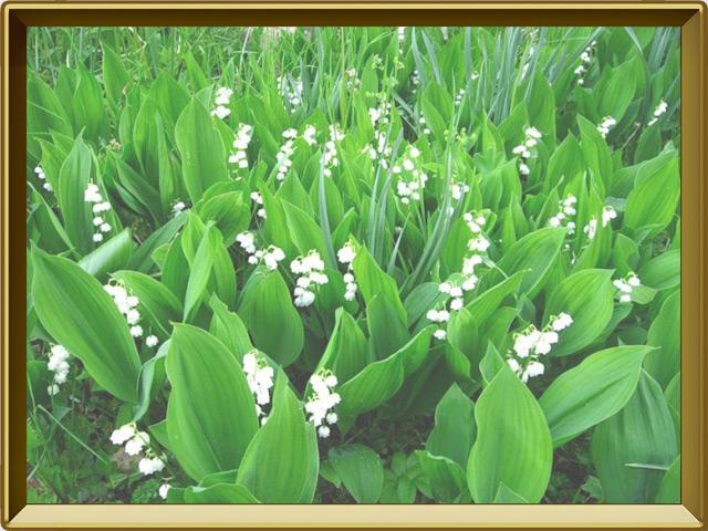 Ландыш — растение, фото в рамке №2