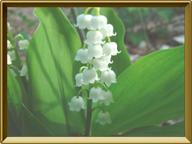 Ландыш — растение, фото в рамке №3