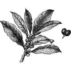 Лавр — растение, картинка чёрно-белая
