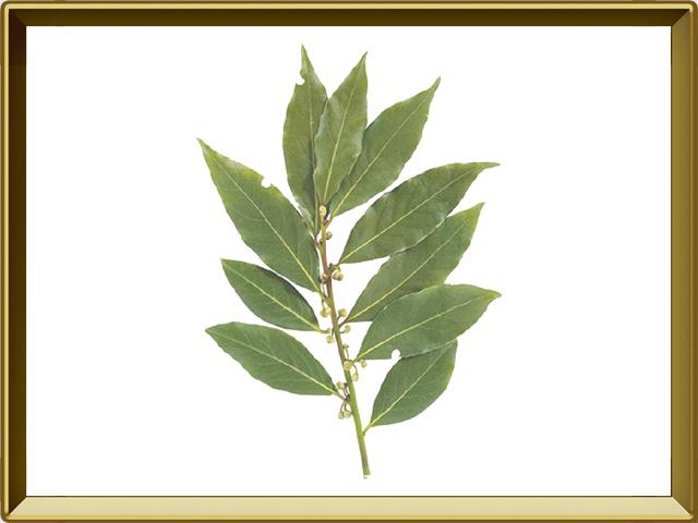 Лавр — растение, фото в рамке №1