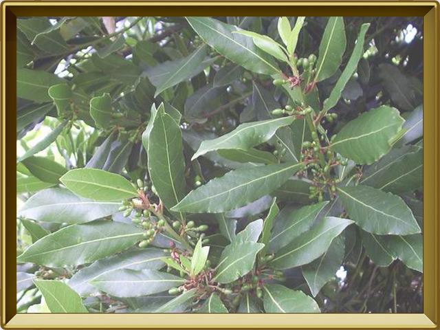Лавр — растение, фото в рамке №2