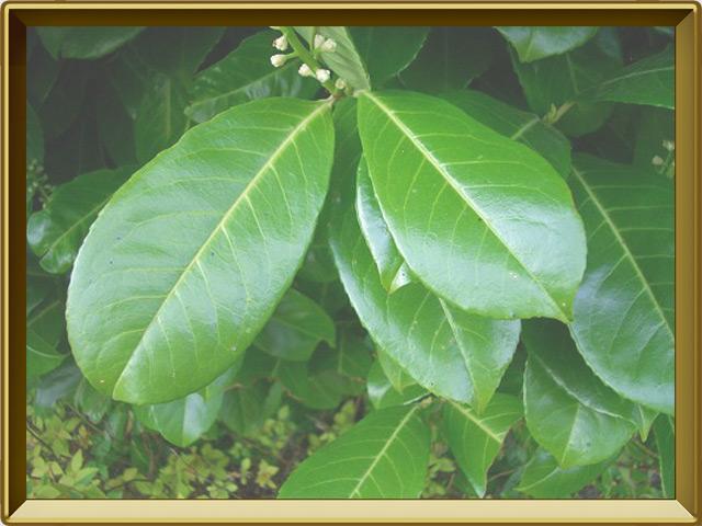Лавр — растение, фото в рамке №3