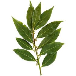 Лавр — растение, картинка цветная