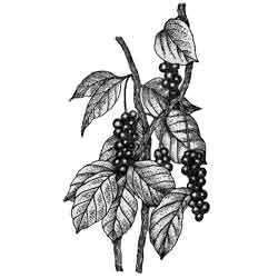 Лимонник — растение, картинка чёрно-белая