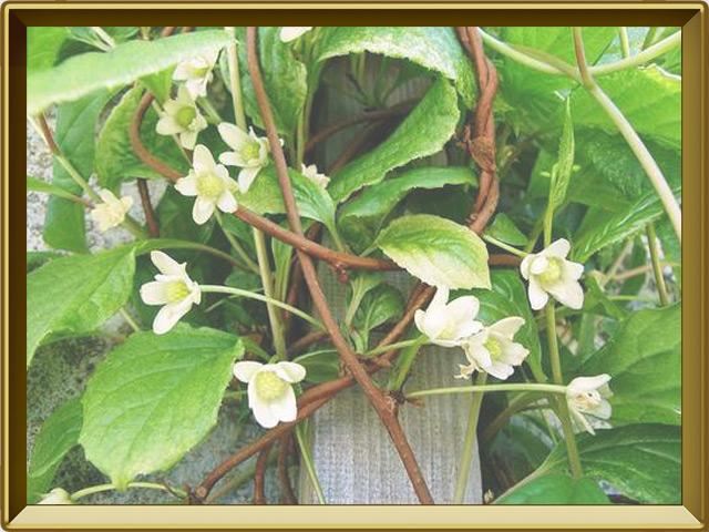 Лимонник — растение, фото в рамке №3