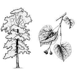 Липа — растение, картинка чёрно-белая