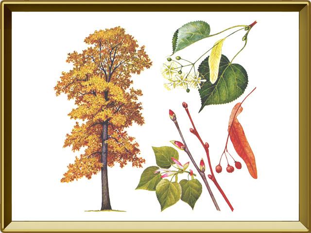 Липа — растение, фото в рамке №1