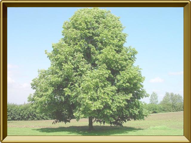 Липа — растение, фото в рамке №2