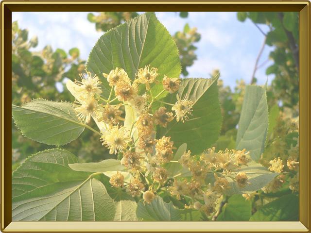 Липа — растение, фото в рамке №3