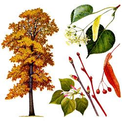 Липа — растение, картинка цветная