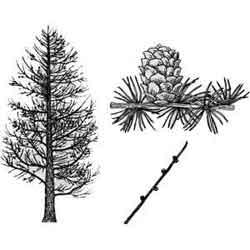 Лиственница — растение, картинка чёрно-белая