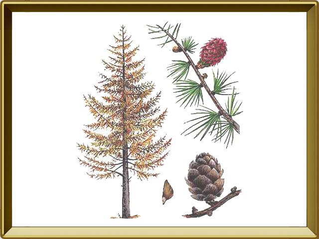 Лиственница — растение, фото в рамке №1