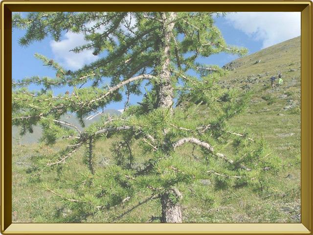 Лиственница — растение, фото в рамке №2