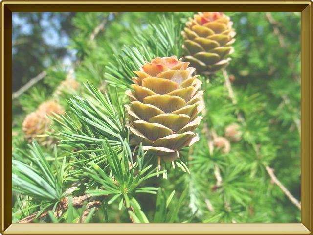 Лиственница — растение, фото в рамке №3
