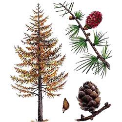 Лиственница — растение, картинка цветная